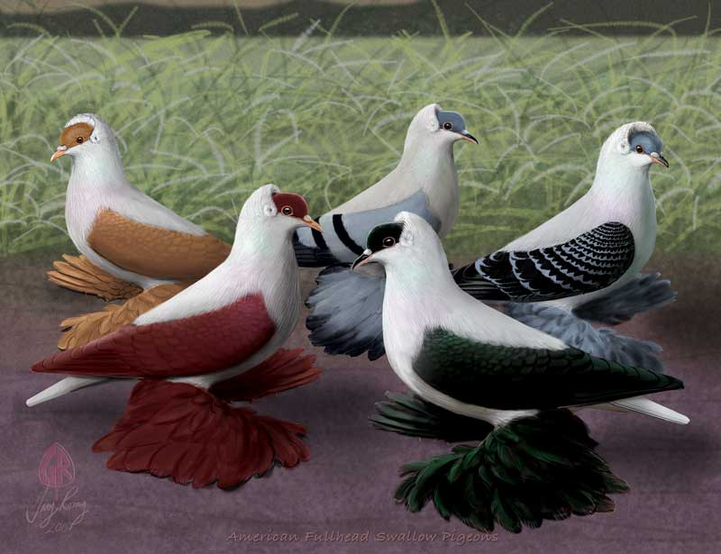 American Fullhead Swallows - Colored pigeons