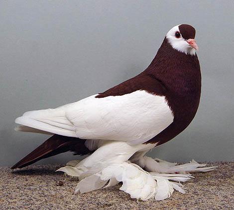 ... Red Tiger Bohemian Swallow (Wing Pigeon). Owner: Wolfgang Dubrau